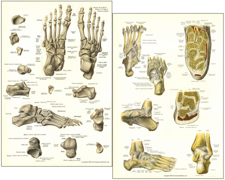 Bones And Ligaments Of The Foot Posters