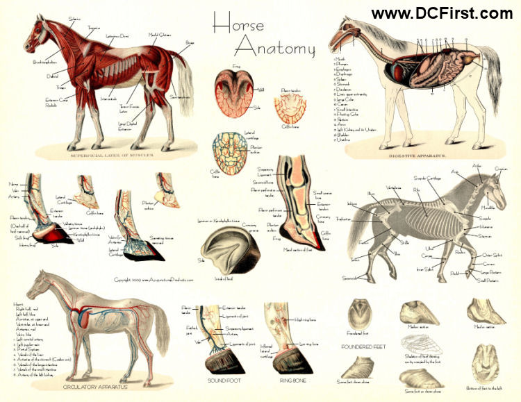 Goat Anatomy Posters http://endlessforest.org/community/huge-gallery-anatomy