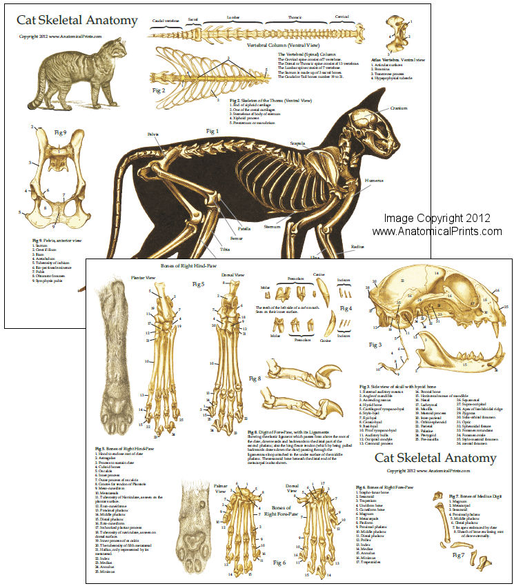 Skeletal Anatomy Of The Domestic Cat Chart