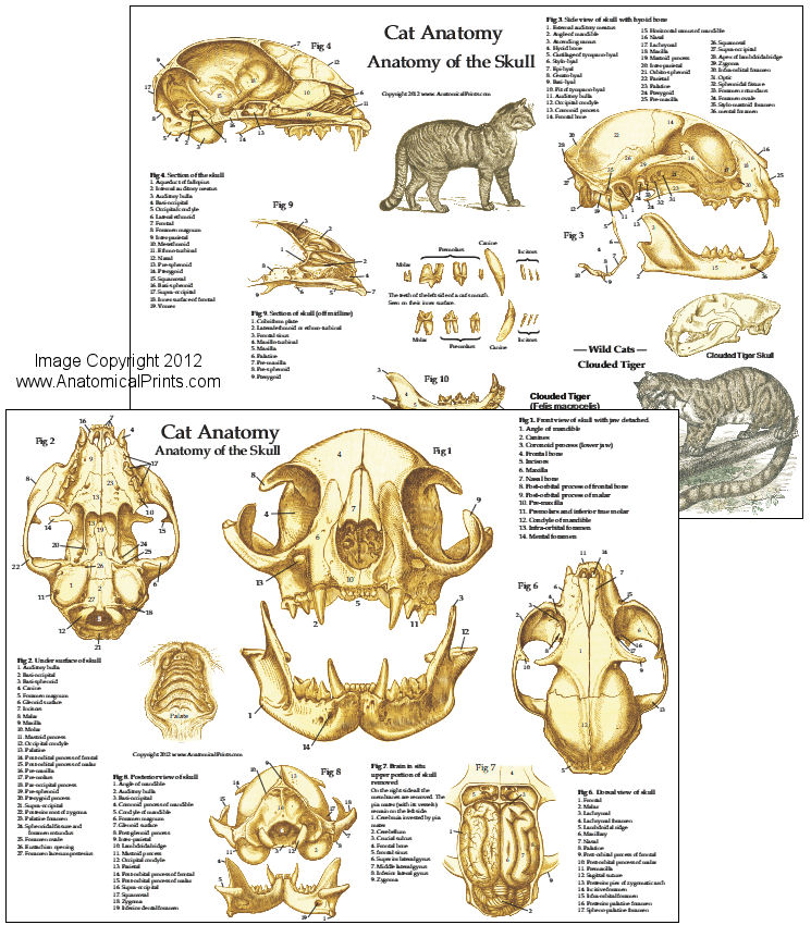 cat anatomy posters and charts