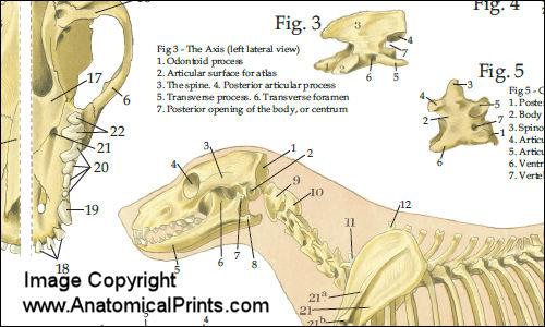 Anatomy chart dog anatomy laminated chart ccuart Gallery