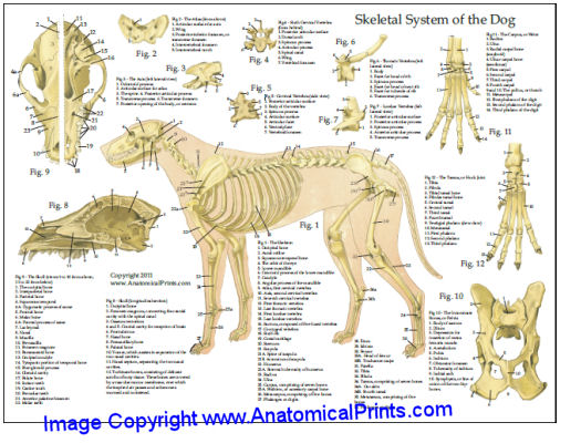 Dog skeletal anatomy chart 8 x 11