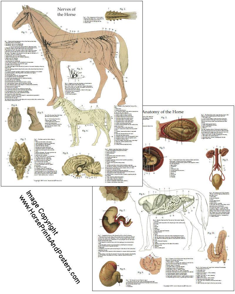 Horse Anatomy Chart Internal Organs 8 X 11