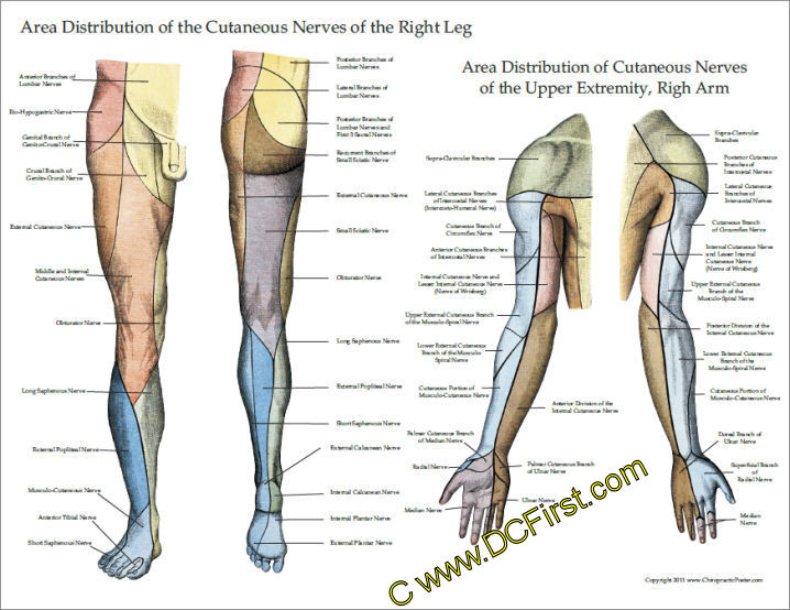 Innervation Of Upper And Lower Extremities