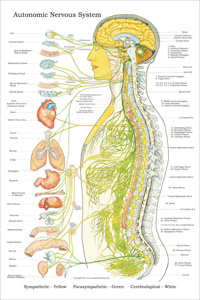 CCF L   Autonomic Nervous System  Physiology Unit    Flashcards     Pinterest