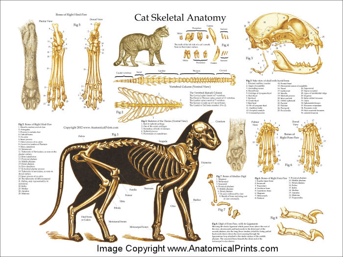 Cat Anatomy Charts And Posters