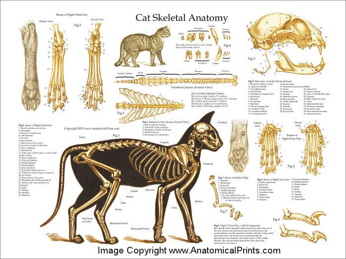 External Cat Anatomy