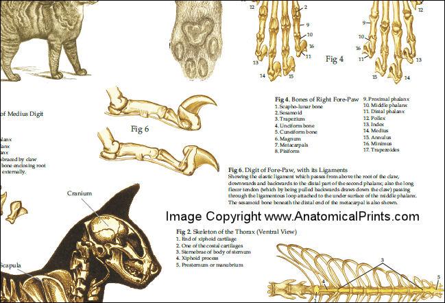Cat S Foot Bones