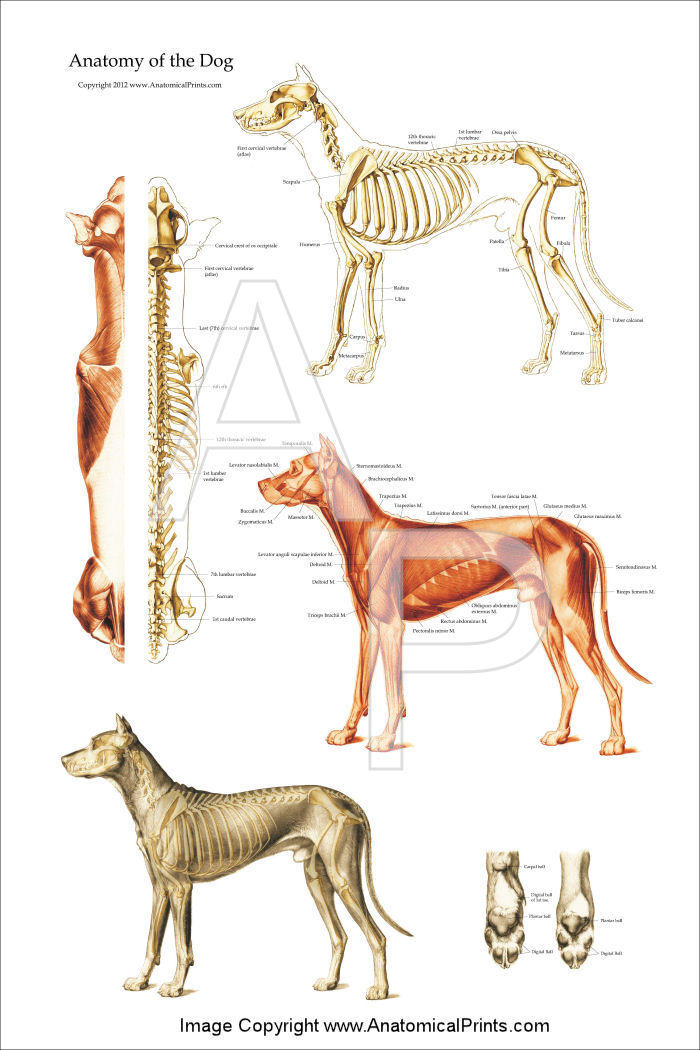 Dog Anatomical Chart Bones and Muscles