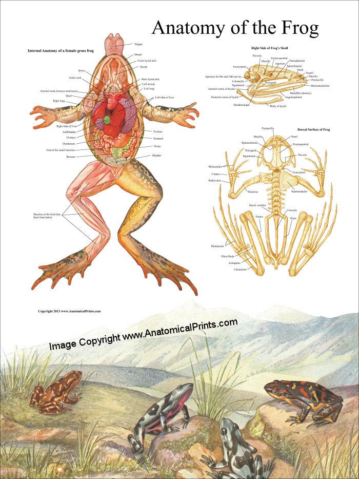 FrogAnatomyPoster.jpg