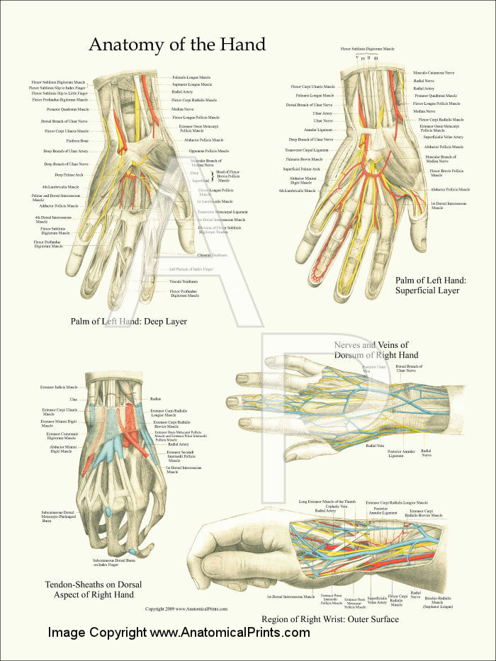 Anatomical Charts and Posters