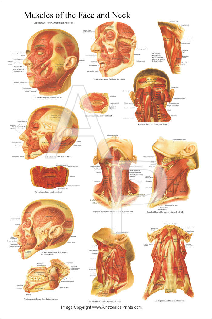 Muscles of the Head and Neck Poster 24 x 36