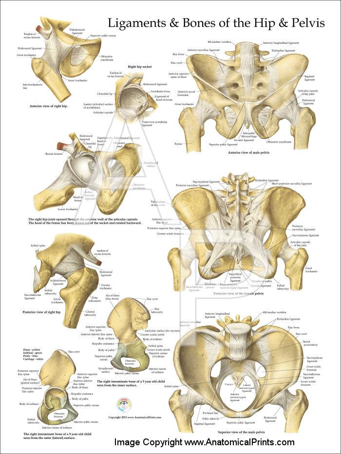 Pelvis And Hip Anatomy Poster