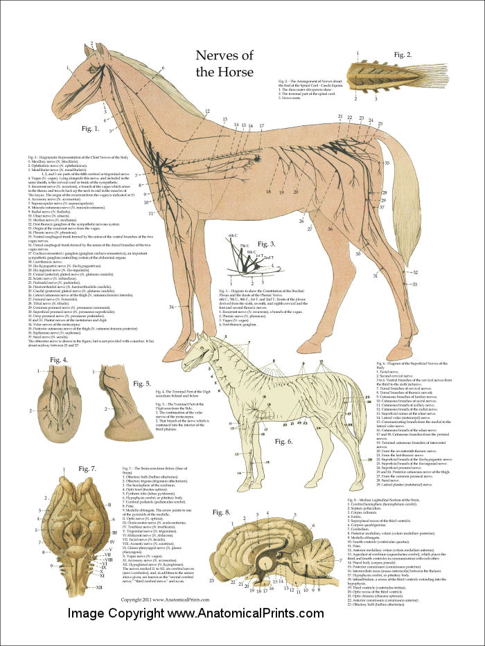 horses anatomy essay Seeking to correlate the underlying anatomy of the horse with its outward  the  anatomy of the horse: including a particular description of the bones,  the  heilbrunn timeline of art history pairs essays and works of art with.