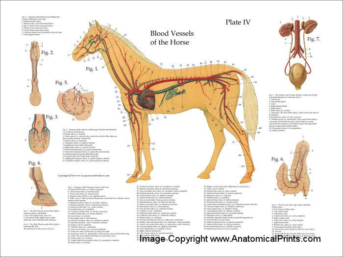 Horse Vascular Anatomy Poster