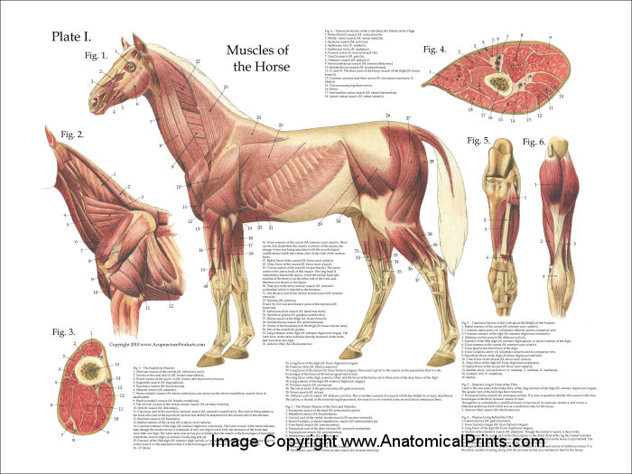 Equine Muscle Anatomy Diagram - Online Schematic Diagram •