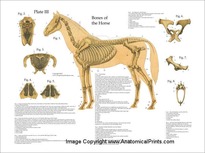 horse anatomy charts - People.davidjoel.co