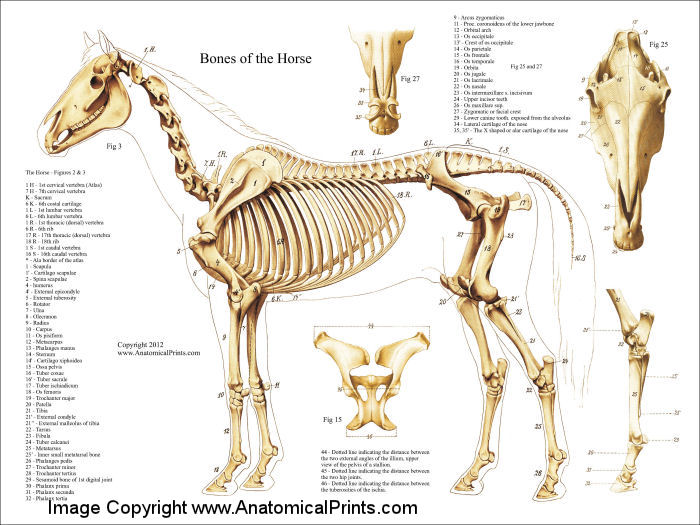 Horse Skeleton Anatomy Laminated Poster