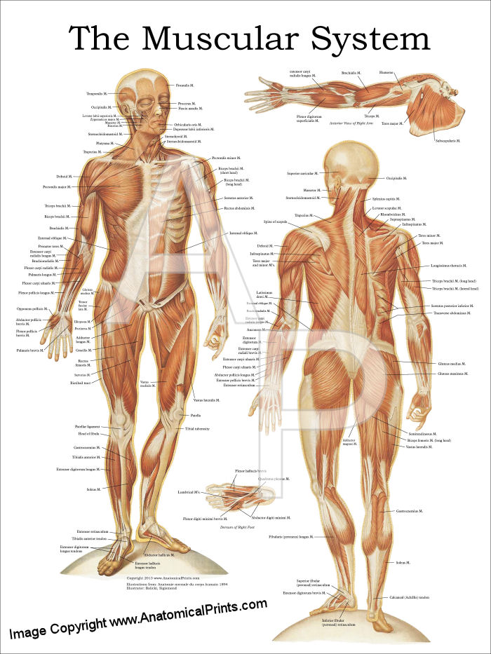 anatomy posters spine surface anatomy, Muscles