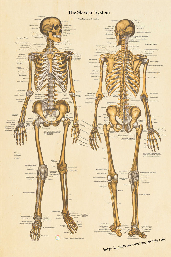 skeletal anatomy poster 24 x 36, Skeleton