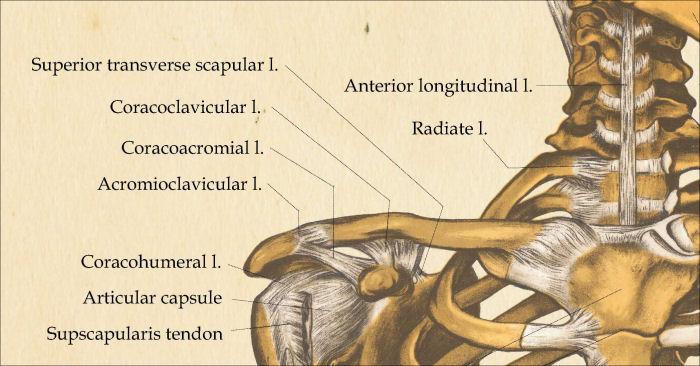 Skeletal Anatomy Poster 24 X 60