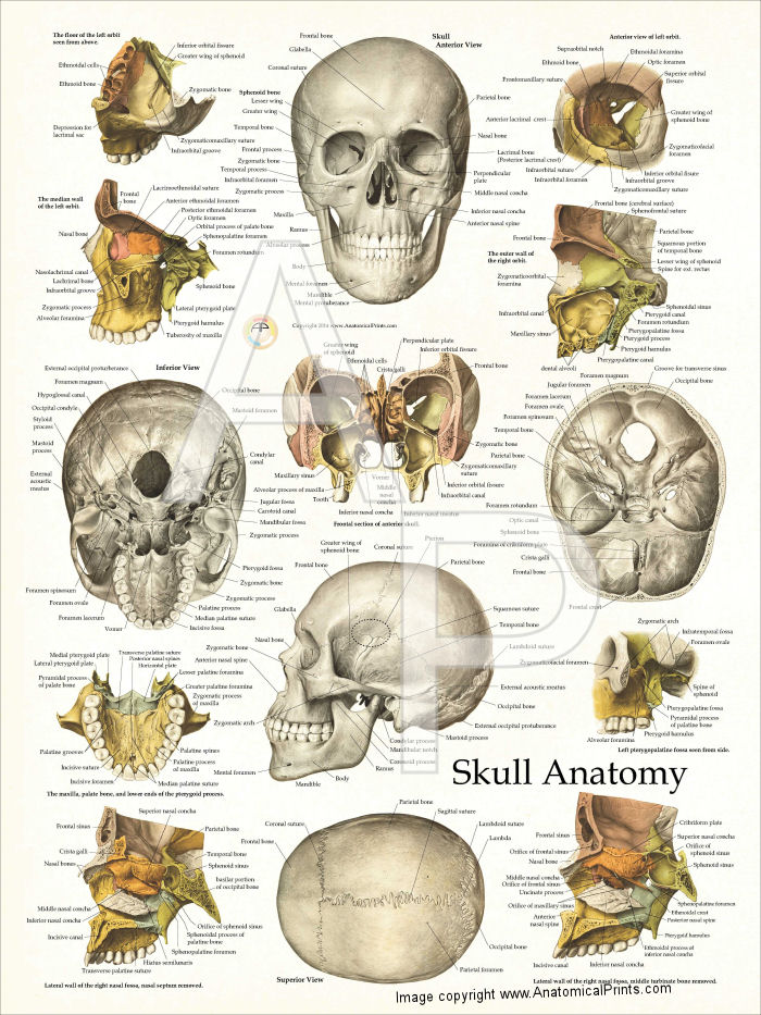 Human skull anatomy chart 18 x 24 skull anatomy poster ccuart Gallery