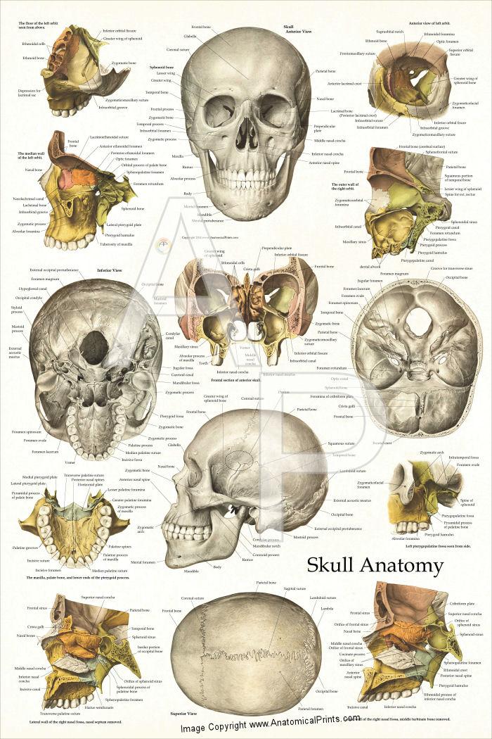 Human Skull Anatomy Poster 24 X 36