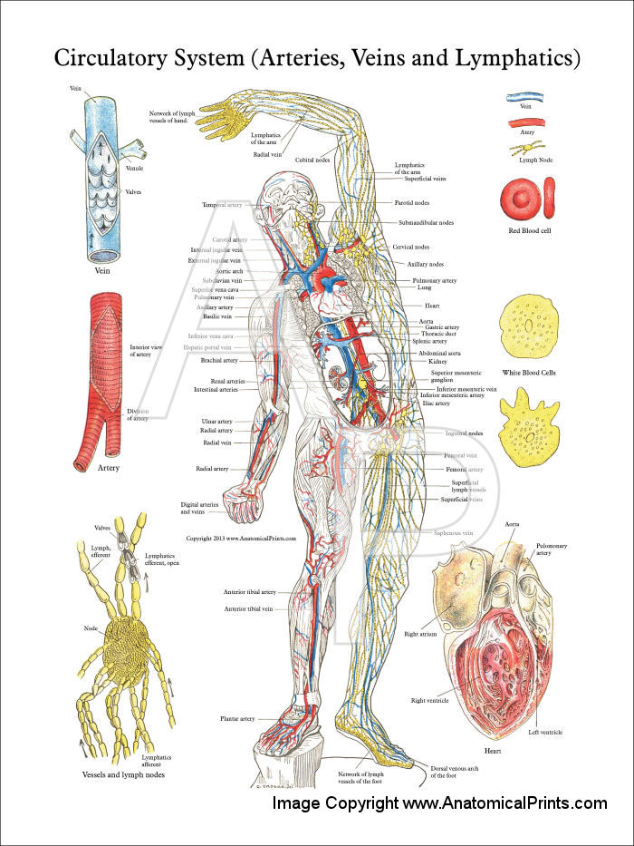 Lymphatic System Lessons Tes Teach