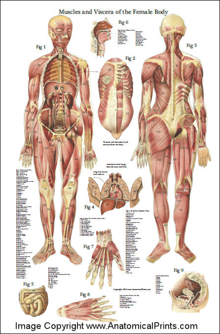 Female Muscles And Viscera Anatomy Poster 24 X 36