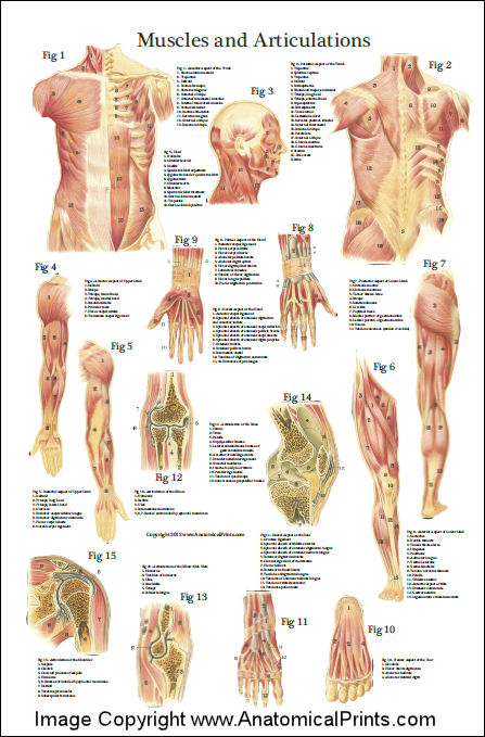 deep and superficial muscle anatomy poster 24 x 36, Muscles