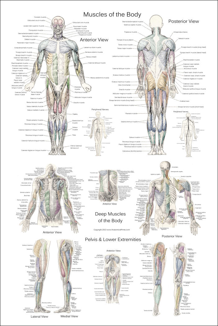 Deep And Superficial Muscle Anatomy Poster 24 X 36