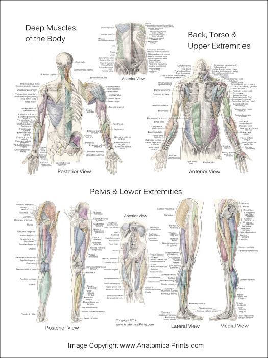 deep and superficial muscle anatomy posters, Muscles
