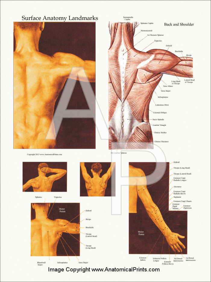 surface muscle anatomy upper extremities arms, Muscles