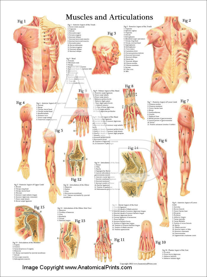 Muscles And Articulations Anatomy Poster