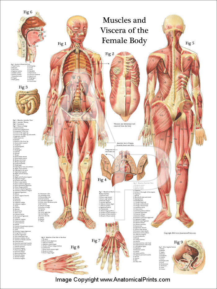 Female Muscles And Viscera Anatomy Poster