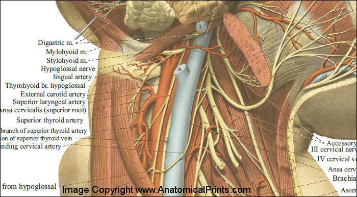 Neck structures anatomy