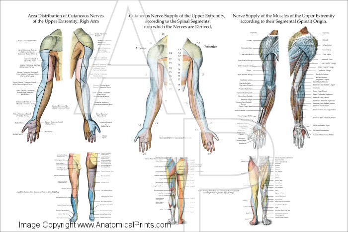 Upper And Lower Limbs Anatomy Gallery Human Body Anatomy