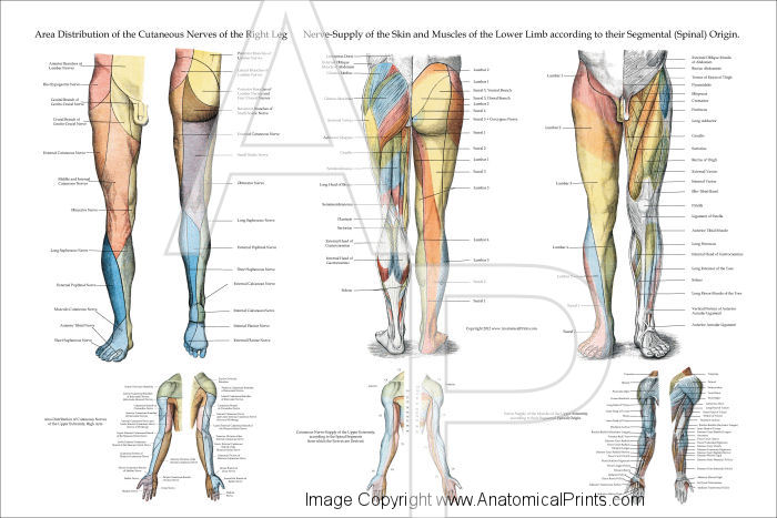 Nerve innervation of lower extremities nerve innervation of lower extremities poster ccuart Image collections