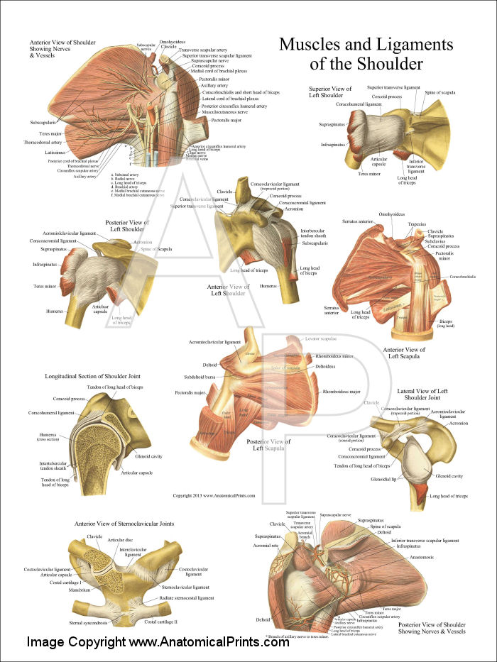 Shoulder Anatomy Poster 18 X 24