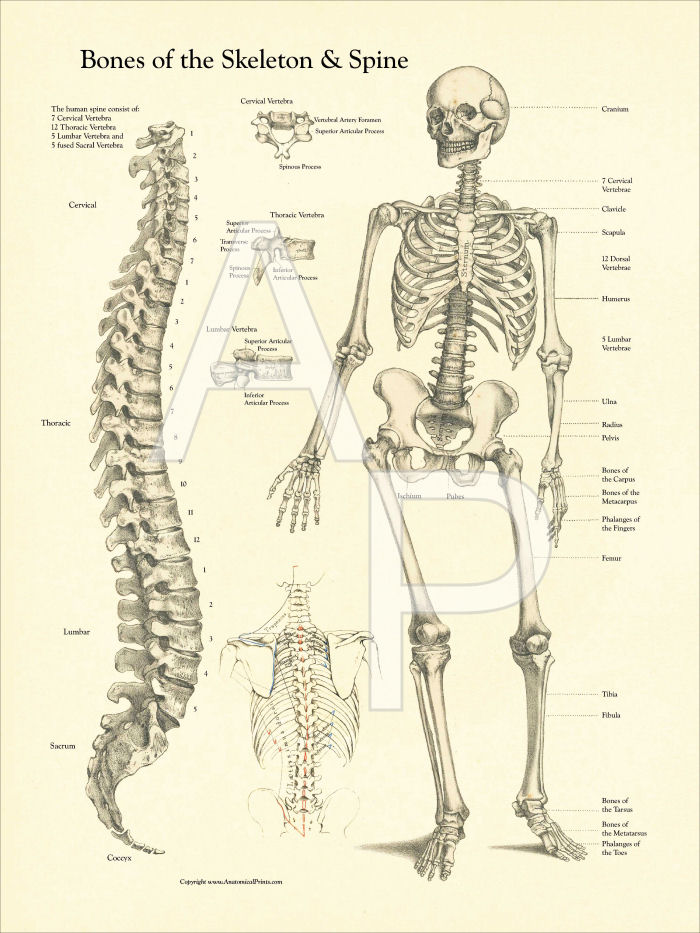 bones of the skeleton and spine poster, Skeleton