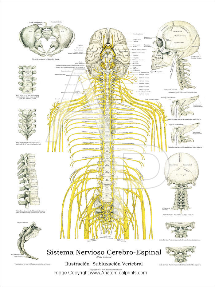 Spanish Spinal Nerves and Subluxations Poster