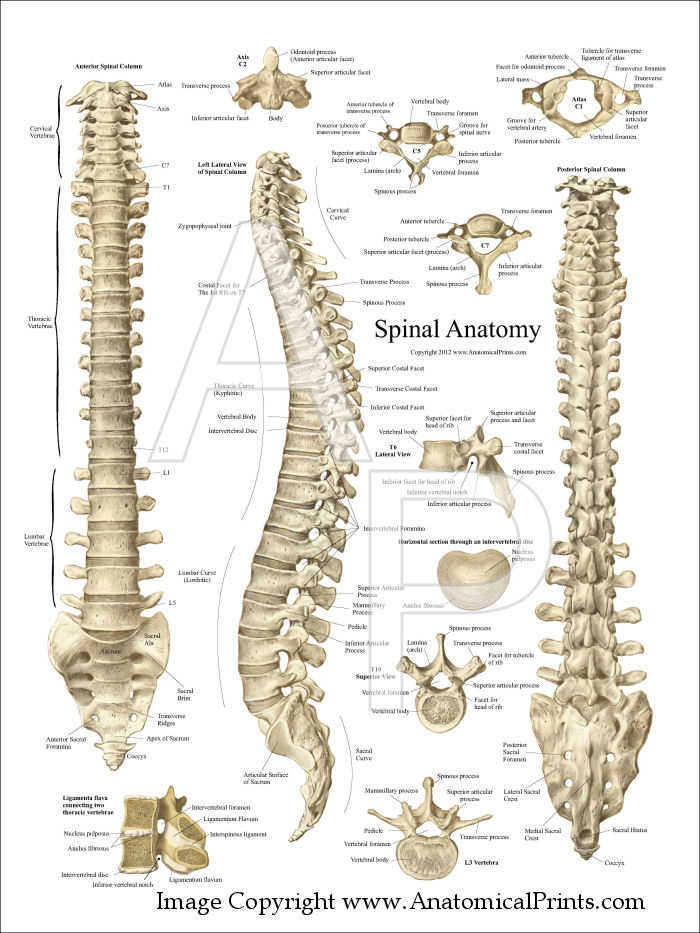 Anatomy of the Spine Poster  Labeled Thoracic Vertebrae