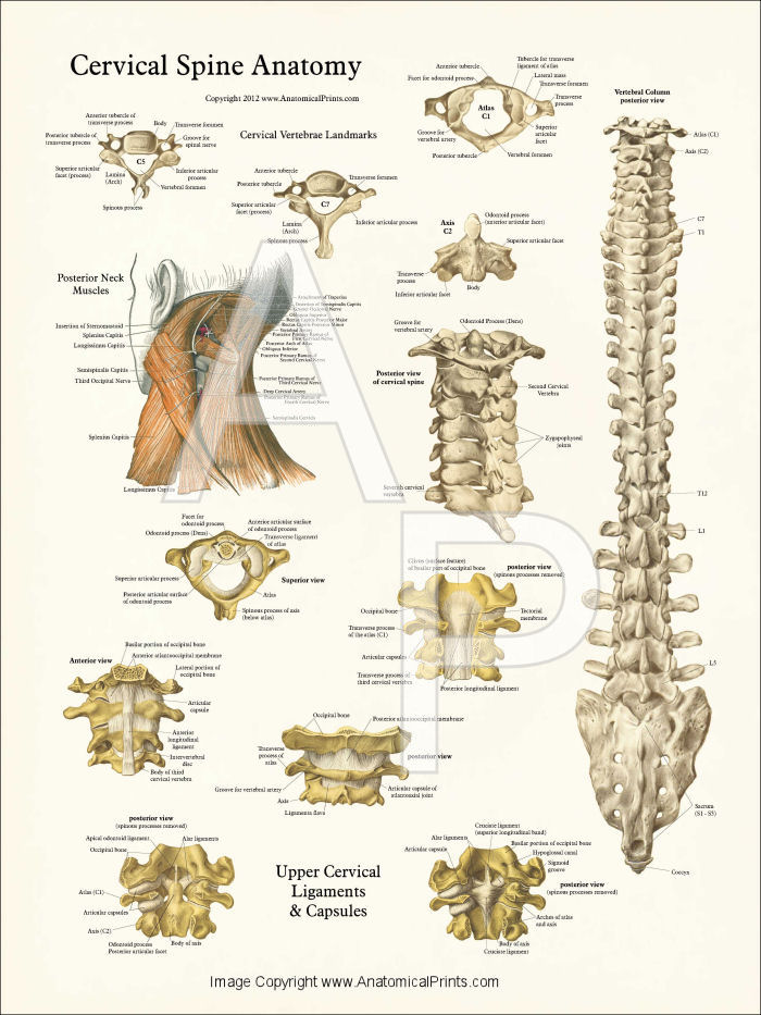 Human Spine Anatomy Posters