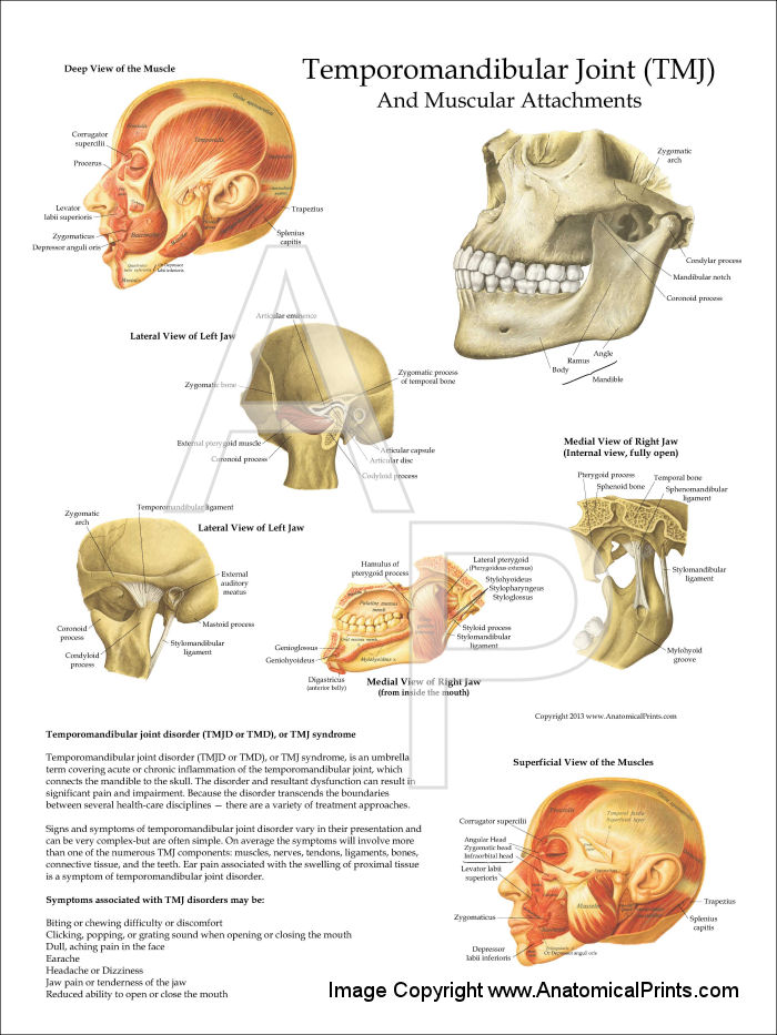 Anatomy and Muscular Attachments Poster