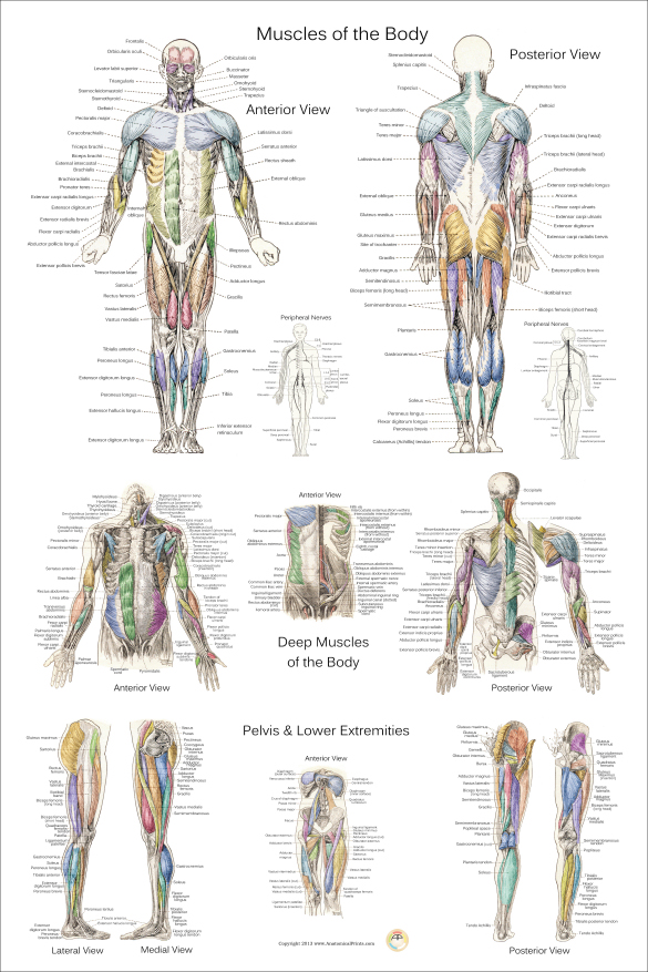 Anatomical Charts and Posters 24 X 36