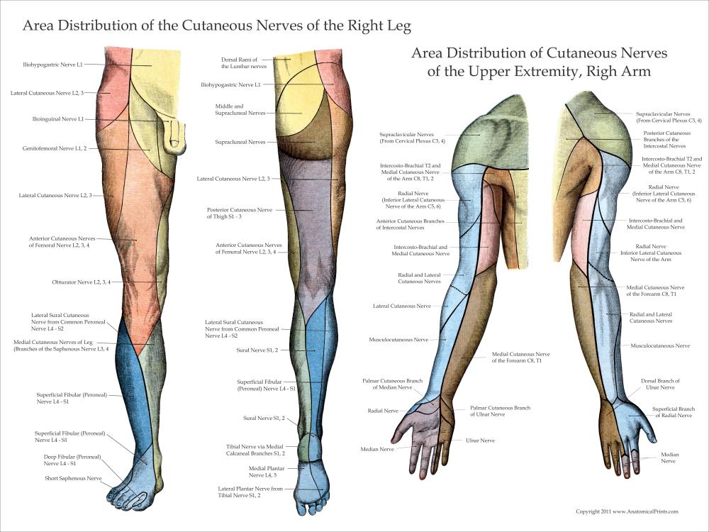 Ausgezeichnet Anatomy Of Right Leg Zeitgenössisch - Menschliche ...