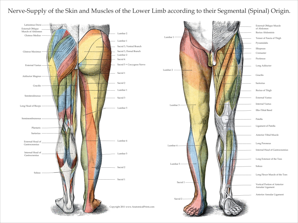 Nerve Innervation Of Upper And Lower Extremities