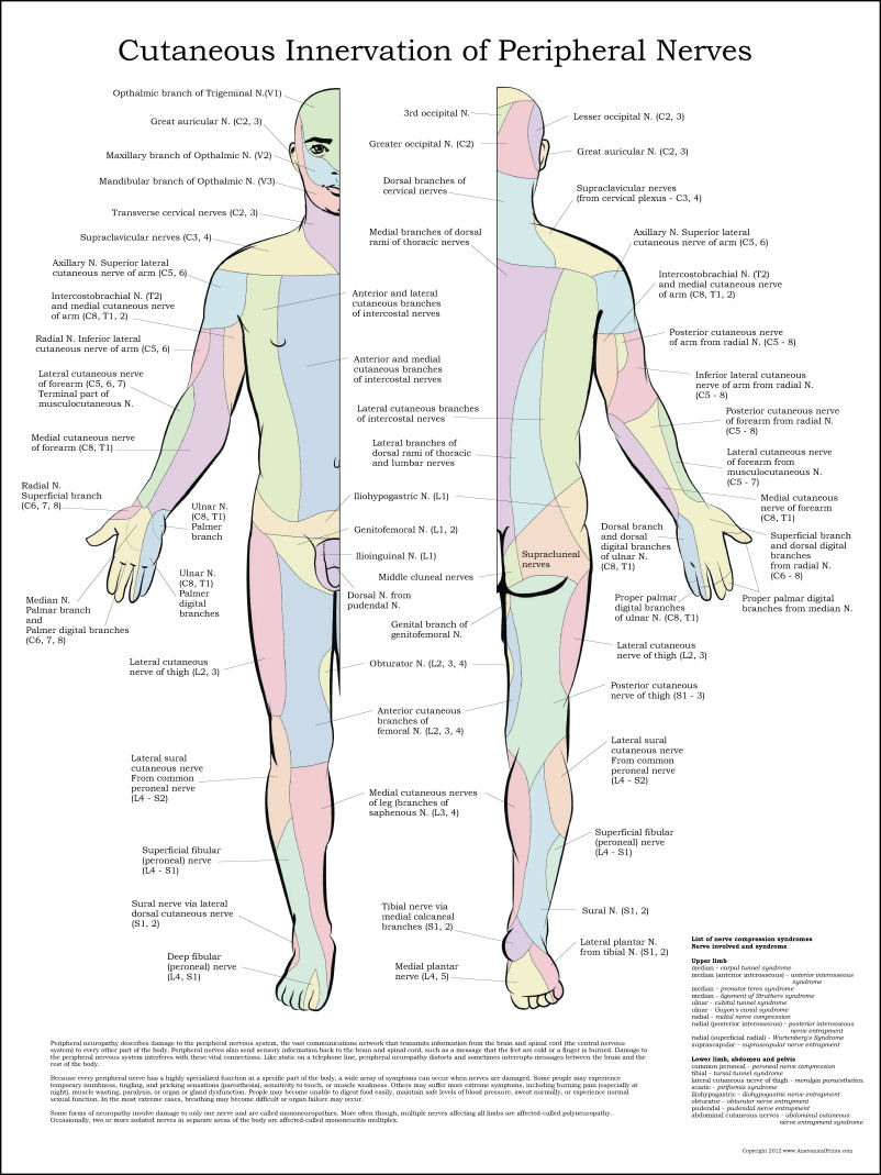 Attractive Large Anatomy Posters Elaboration - Anatomy and ...