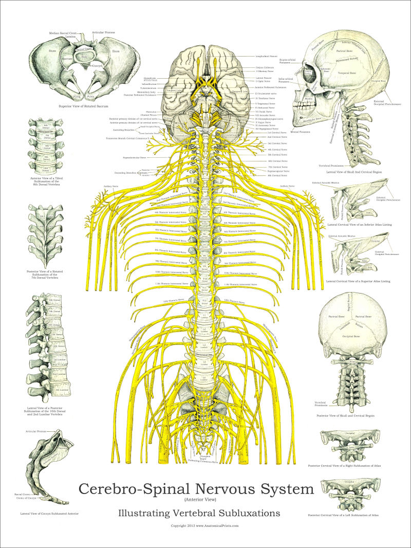 spinal nerves - Goal.goodwinmetals.co