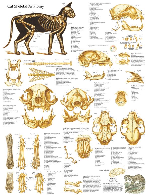 Skeletal Skull Anatomy Of The Domestic Cat Poster